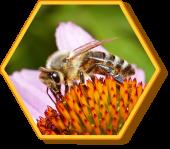 Honigbiene & Roter Scheinsonnenhut